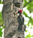 Pileated wookpecker