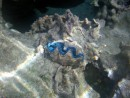 Electric Blue Giant Clam