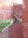 Mischievous monkeys in Agra Fort