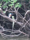 Kingfisher and Jesus Christ lizard in Cano Negro