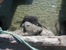 Iguanas greet you at the dock when you arrive