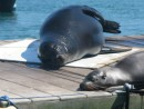 Sunning seal and sea lion in the harbor at Isla Isabela