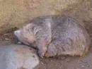 Sleeping wombat, a marsupial, too!
