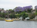 Jacaranda purple trees in bloom all over Sydney