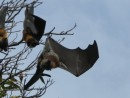 Flying Foxes...bats...in Botanical Gardens