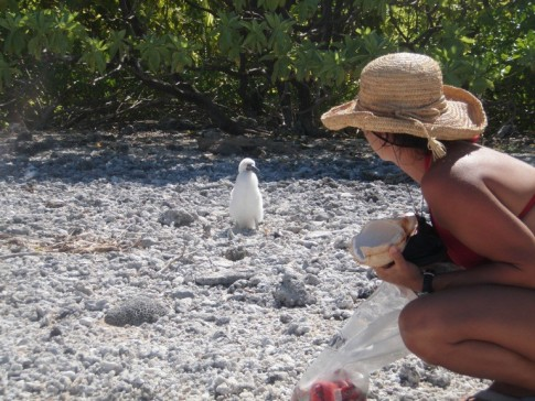 Suwarrow, Seven Islands, Monique and Baby booby bird