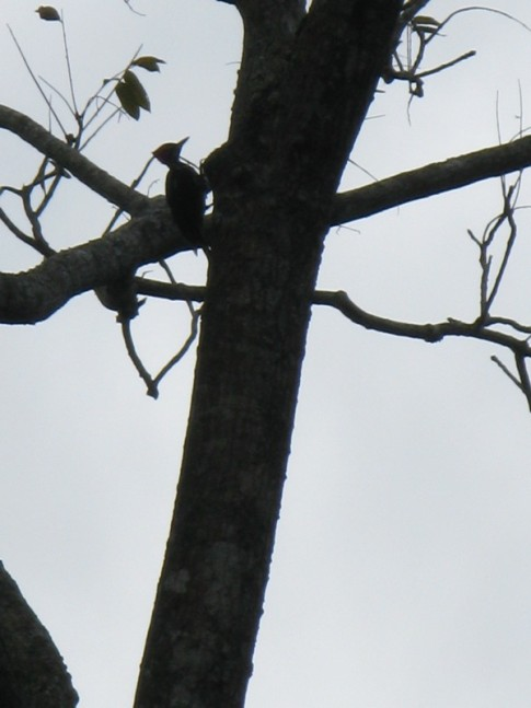 Wild woodpecker on Cano Negro, CR