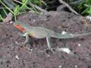 Santa Cruz - beautiful bright green lizards with orange throats