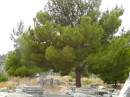 Priene -beautiful trees providing lots of shade around the city.