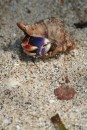 Rather pretty coloured hermit crab fell out of tree in front of me