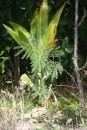 Lonely coconut palm, recently washed in and now growing well