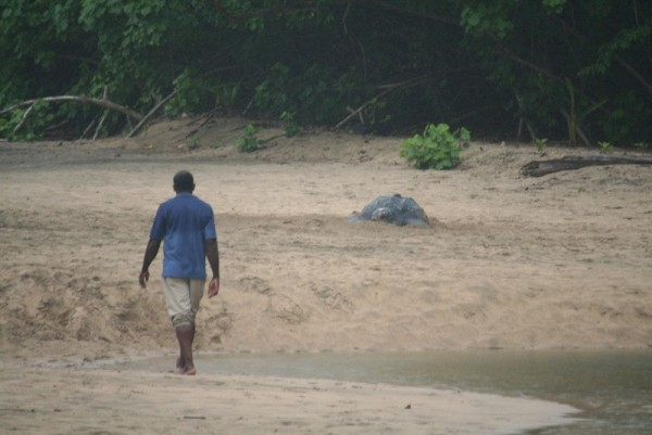 First sighting of the giant leatherback turtle as we drove past the beach on west coast of Dominica
