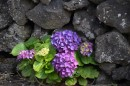 Again, the beautiful hydrangea - the colors were amazing, note the black lava rock wall behind, very typical.