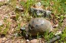 Land Turtle: Lots and lots of these guys on the move - must be spring!!