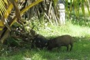 Dog & Piglet show! Pigs are an important element to Funafuti.