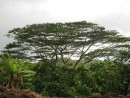 Trees of Hiva Oa.