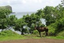 Hiva Oa with Marquesan horse. The horses originally came from Chili in the 1940