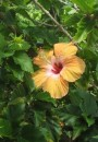 One of the many kinds of hibiscus flowers.