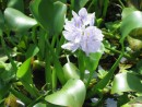 Close up of water hyacinth, Los Largartos