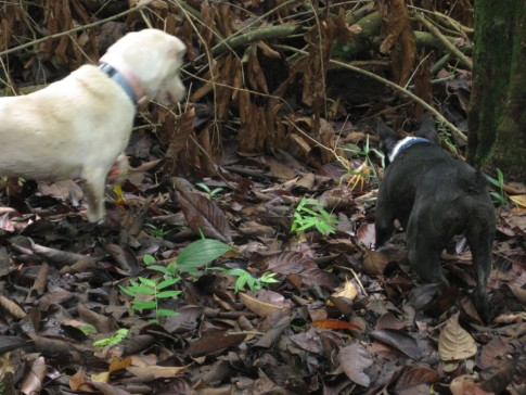 Pearl and Bodee on the jungle path, looking for crabs