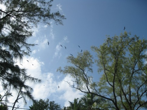 Frigate bird rookery on Cayo Vivarillo