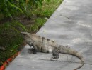 Granddaddy Iguana at the marina