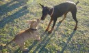 A baby pit bull plays tug of way with a puppy doberman