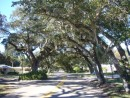 beautiful live oaks over a residential street