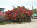 Beautiful flowering tree in Staniel Cay