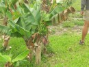 A banana tree in Black Point