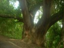 Another large tree in the jungle on the walk up Ancon Hill.