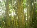 A grove of Bamboo in the jungle.