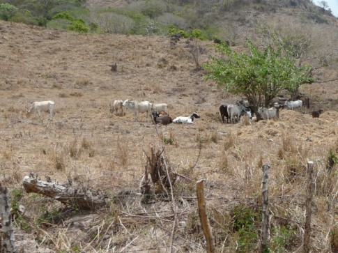 Local cattle waiting for the rainy season, so they have something to eat!