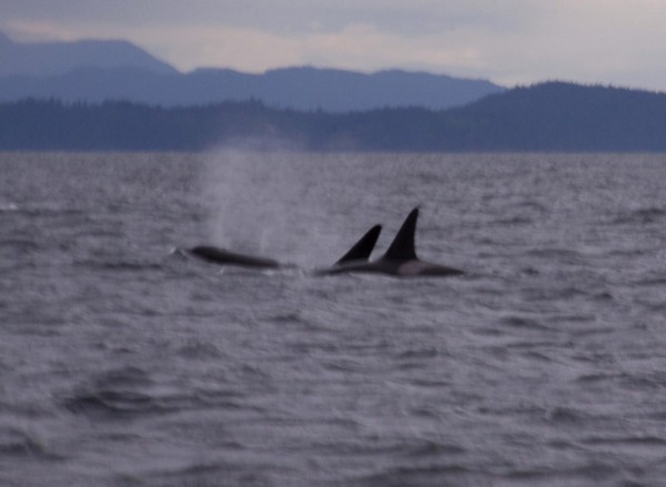 Orcas off Powell River