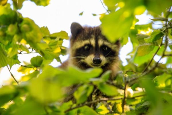 Non-tidal raccoon