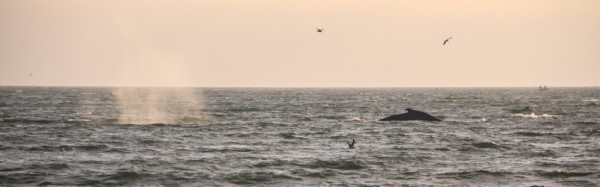 Humpbacks on Santa Cruz Bay.
