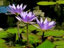 Beautiful lavendar water lilies