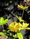 Contrast of yellow flowers and these almost black leaves