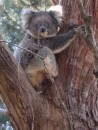 Koala in our gum trees