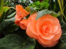 As are the begonias.  I