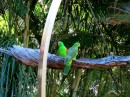 Musk Lorikeet or red-winged parrot