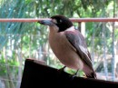 Butcher bird who eats hamburger out of our hands and sings for us
