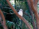 Kookaburra who waits for us each morning