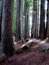 More redwoods