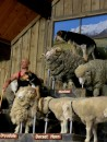 We visit the sheep at the Agrodome