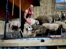 More Sheep shearing