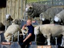 19 varieties of sheep