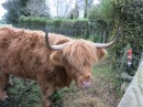 heritage brands of cattle.  These Highland are from Scotland