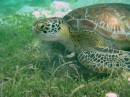 Green Turtle eating Turtle Grass