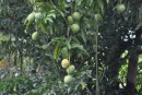 Mangos are starting to ripen!
